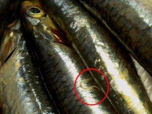 Anisakis-tra-ricette-pesce-crudo (1)